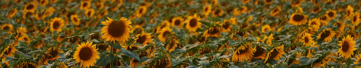 Sunflower Sojourn